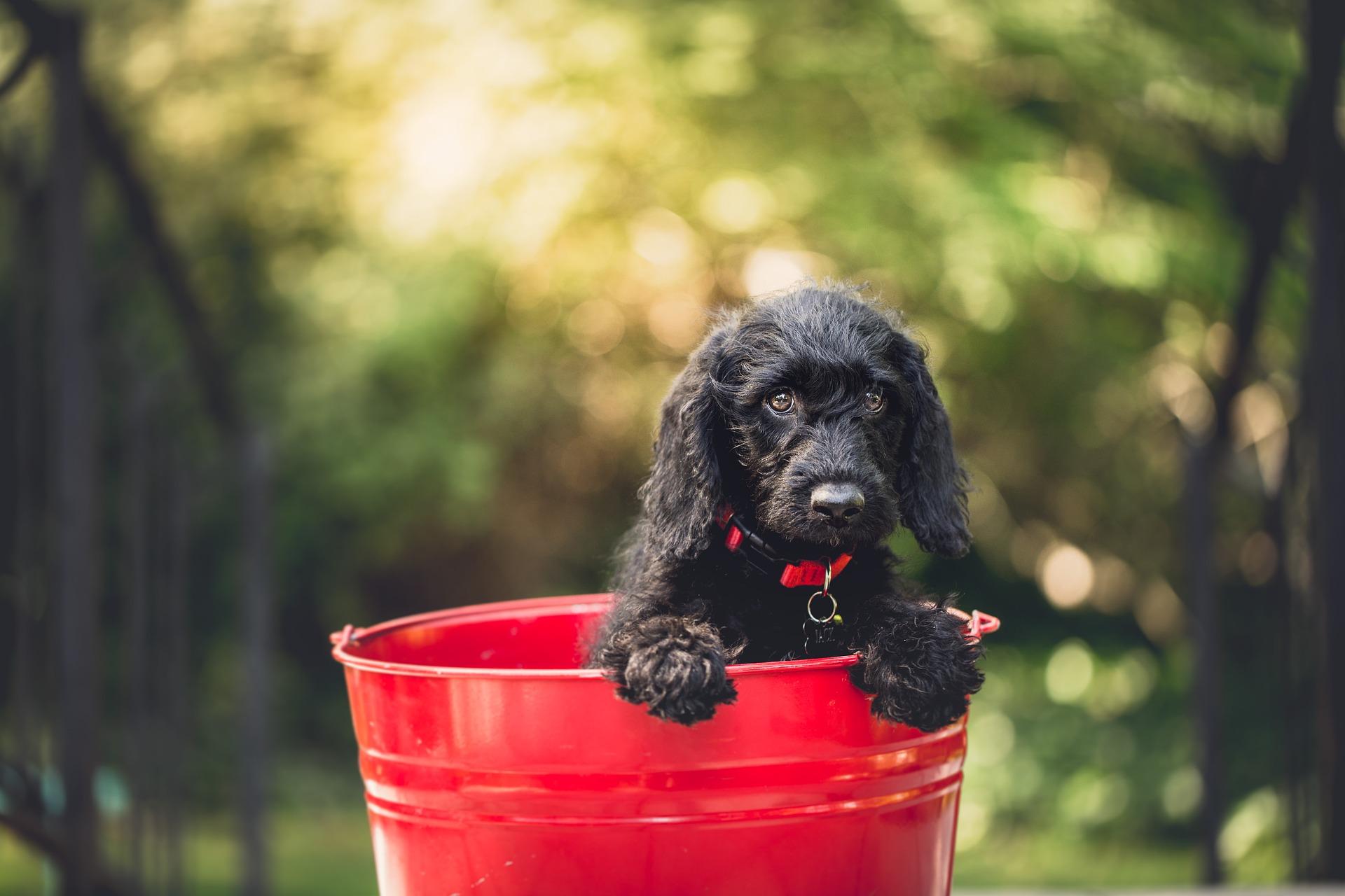 černé štěně